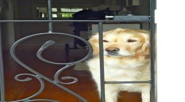grdp1000260.jpeg - grdp1000260.jpeg - companion dog   dog companion dog, dog, dog breed, dog like mammal, golden retriever, puppy, retriever, snout, black, white