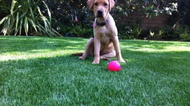 Residential landscape boerboel, broholmer, dog, dog breed, dog like mammal, grass, lawn, plant, tosa, vertebrate, green