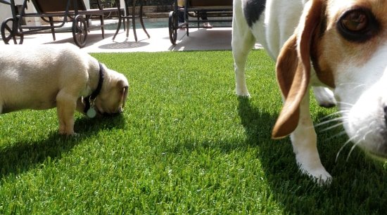 Residential landscape beagle, dog, dog breed, dog breed group, dog like mammal, grass, hound, lawn, plant, snout, green