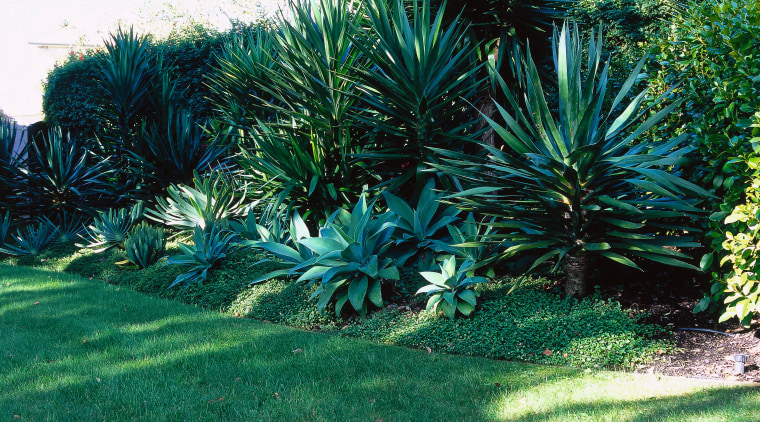 massed perimeter planting incorporates agave and yucca plants agave, arecales, biome, botanical garden, ecosystem, evergreen, flora, garden, grass, grass family, landscape, landscaping, lawn, palm tree, plant, plant community, shrub, shrubland, tree, vegetation, yard, teal