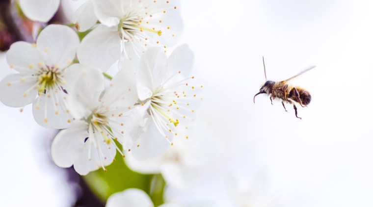 Lukas Blazek 261603 Unsplash bee, blossom, cherry blossom, flower, honey bee, insect, macro photography, membrane winged insect, nectar, petal, pollen, pollinator, spring, white