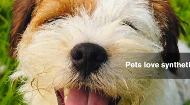 Pets love synthetic grass! briquet griffon vendéen, companion dog, dog, dog breed, dog like mammal, grass, petit basset griffon vendéen, snout, sporting lucas terrier, terrier, brown