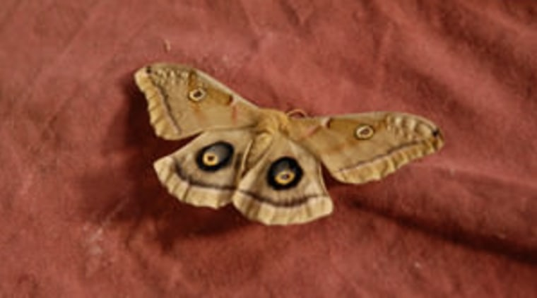butterfly on sofa arthropod, bombycidae, butterfly, fauna, insect, invertebrate, moth, moths and butterflies, organism, pollinator, red