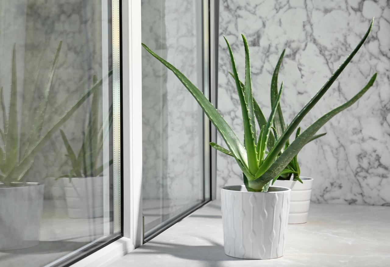Aloe vera - Instagram's most popular houseplants revealed!