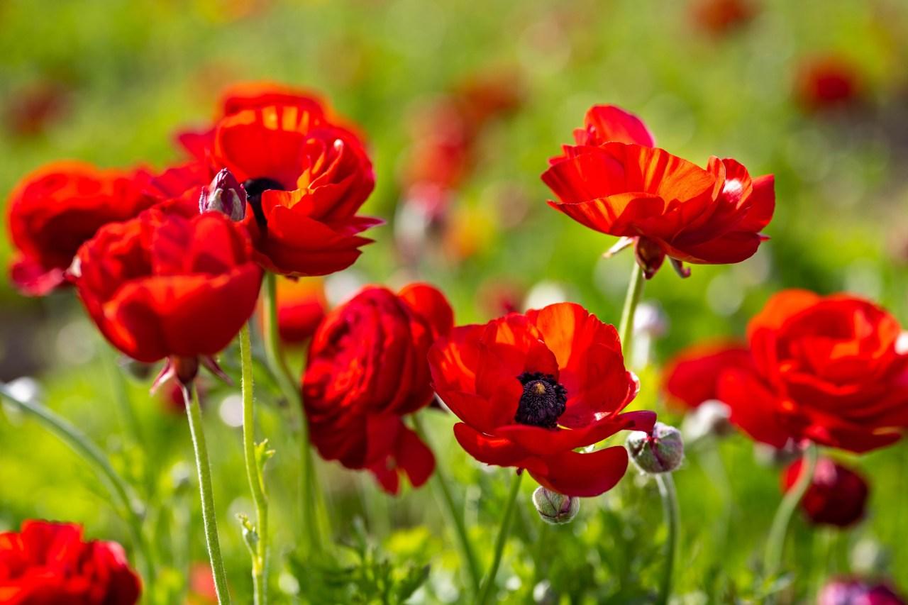 Red ranunculus -