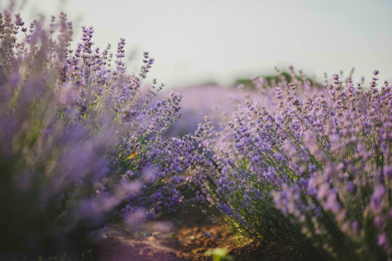 Choose plants like Lavender, which will grow or common sage, english lavender, flower, flowering plant, lavandula dentata, lavender, lilac, nepeta, plant, purple, spring, violet, white