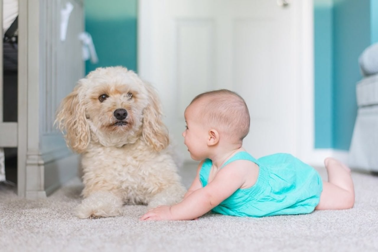 It's time to baby-proof your house. child, cockapoo, companion dog, dog, dog breed, dog clothes, dog crossbreeds, dog like mammal, puppy, snout, toddler, gray, white