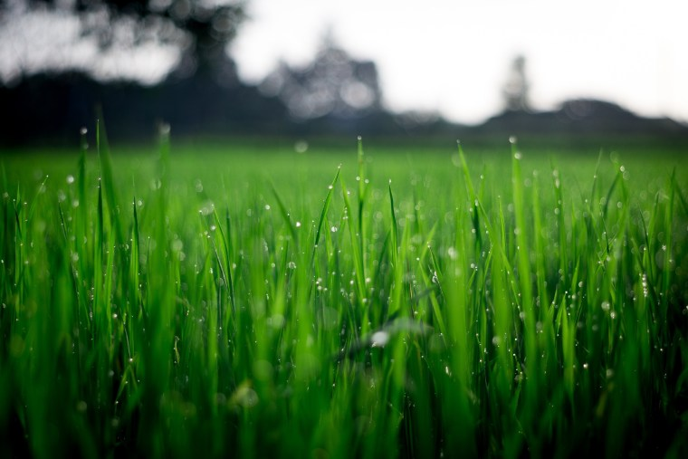 By raising the blades a little higher on close-up, dew, grass, grass family, grassland, green, lawn, leaf, moisture, nature, photography, plant, sky, spring, vegetation, water, wheatgrass, green