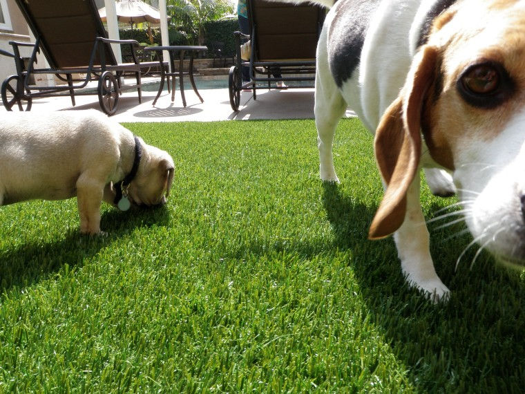 Pets love TigerTurf too! beagle, dog, dog breed, dog breed group, dog like mammal, grass, hound, lawn, plant, snout, green