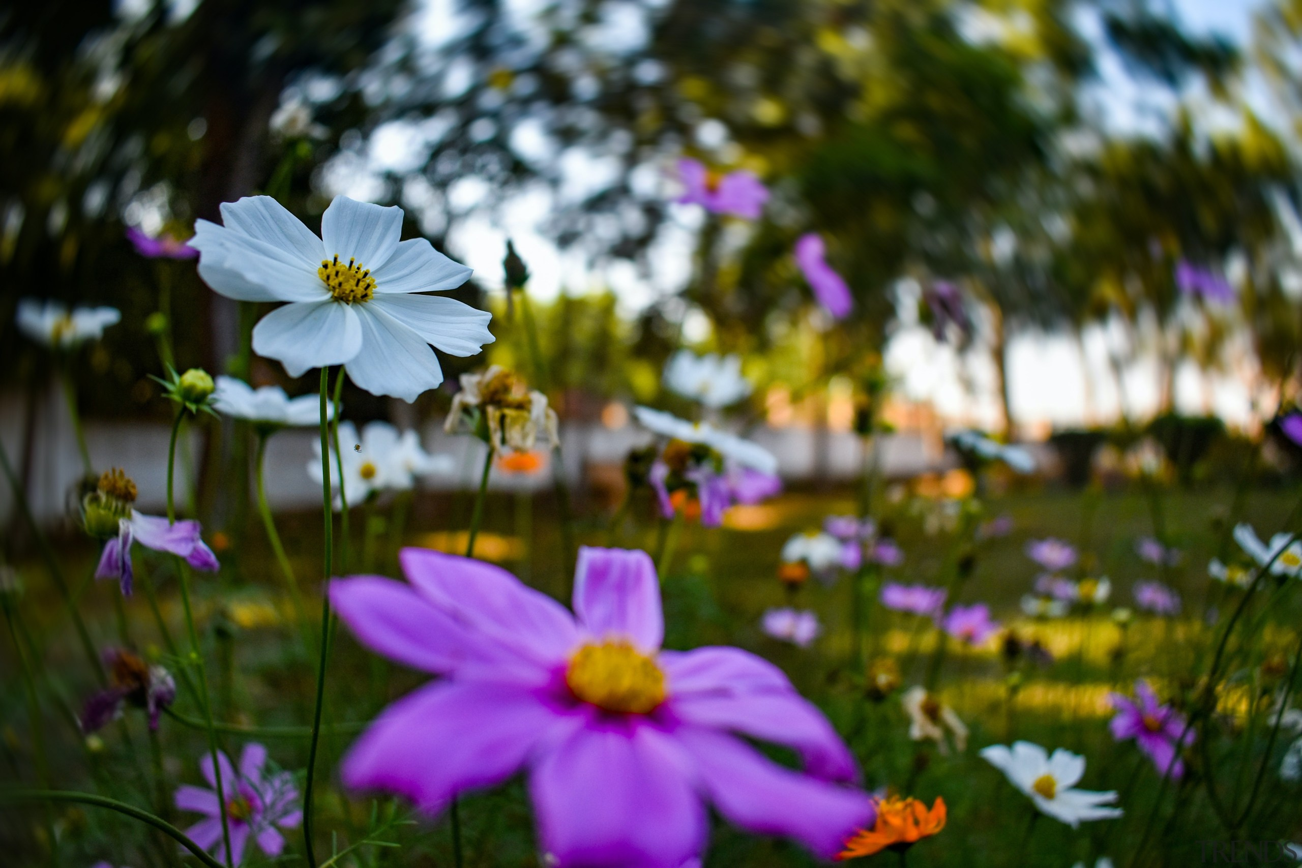 These extremely easy-to-grow bulbs bloom abundantly through springtime.