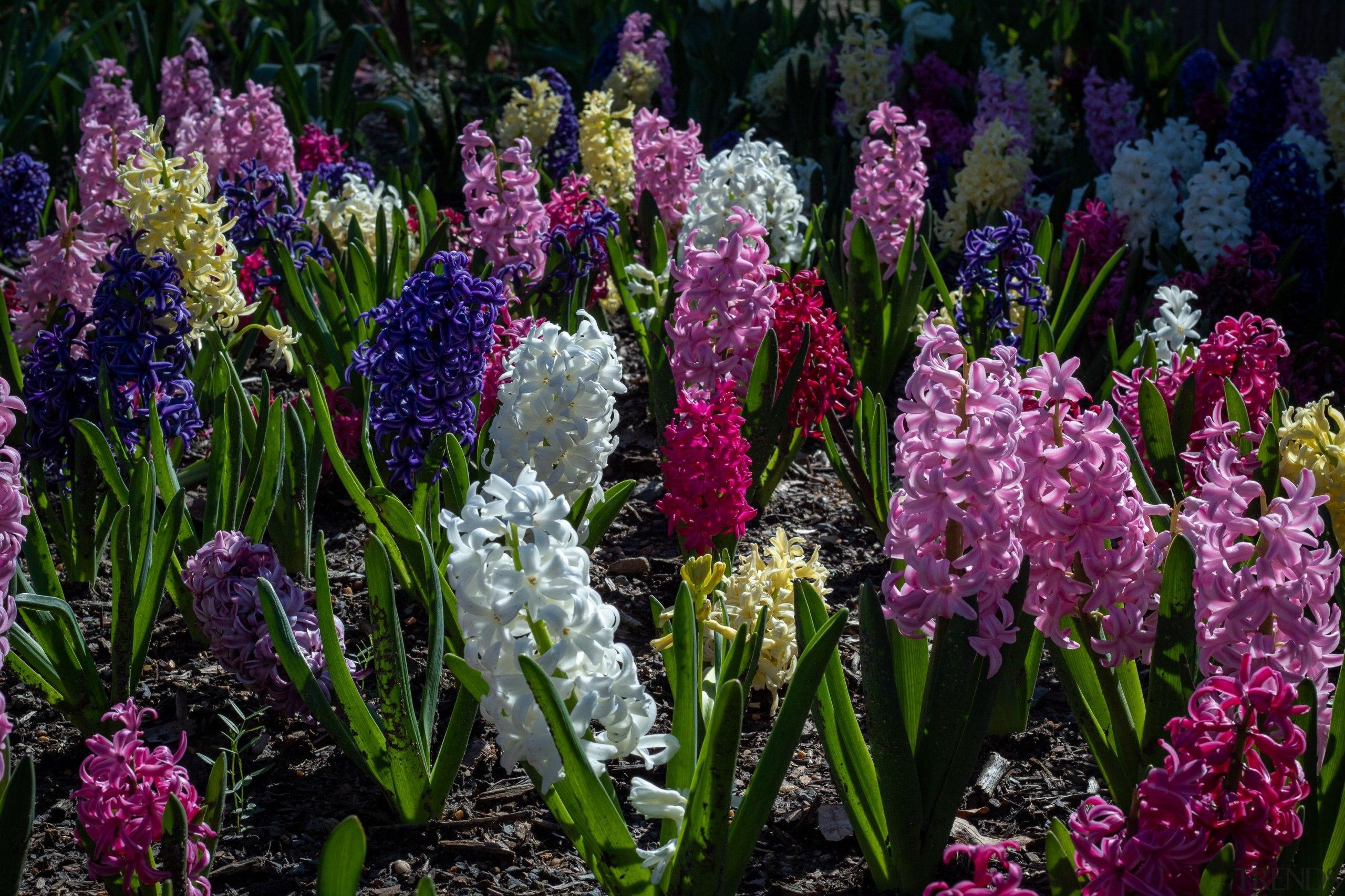 Hyacinth bulbs love being a sunny, well drained