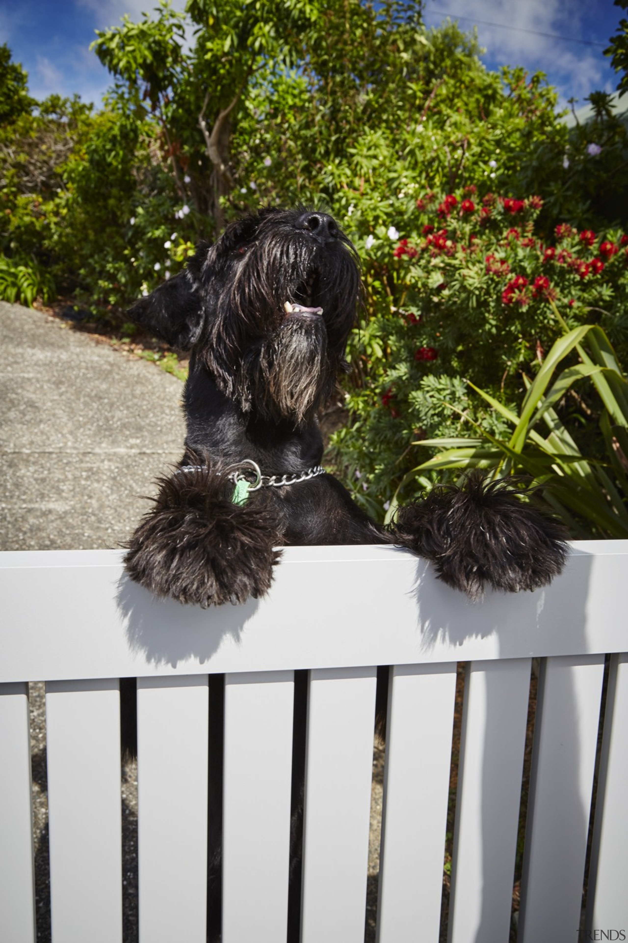 The owners are thrilled with the finished look dog, dog breed, dog like mammal, portuguese water dog, schapendoes, spanish water dog, tree, brown, white