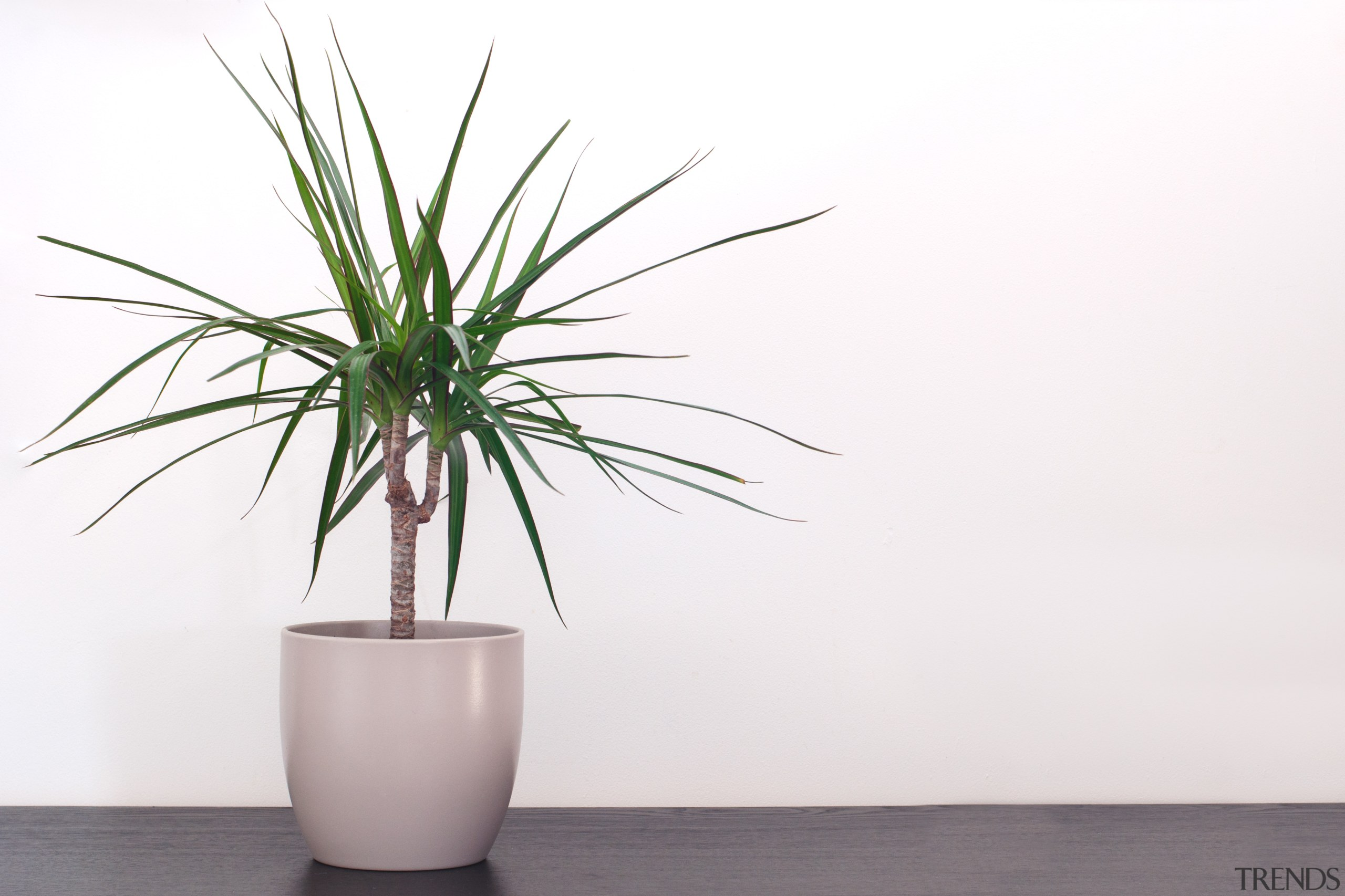 Dracaena fragrans corn plant - Instagram's most popular