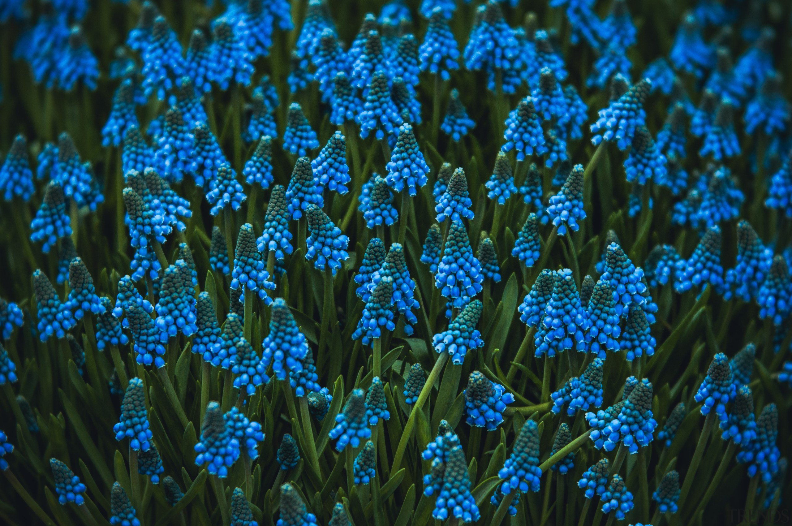 Muscari offer the prettiest of ground cover. Plant