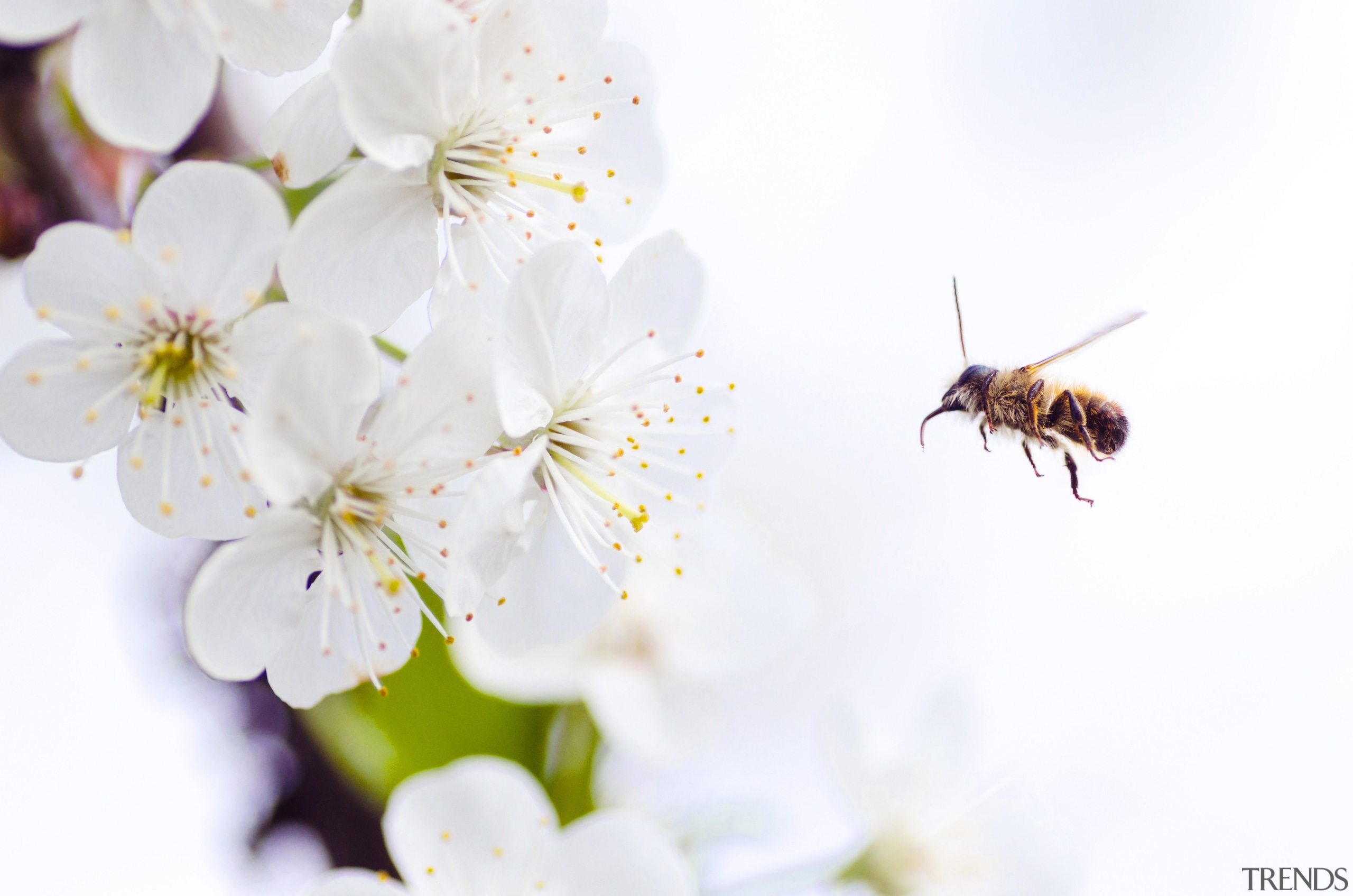 Lukas Blazek 261603 Unsplash - bee | blossom bee, blossom, cherry blossom, flower, honey bee, insect, macro photography, membrane winged insect, nectar, petal, pollen, pollinator, spring, white