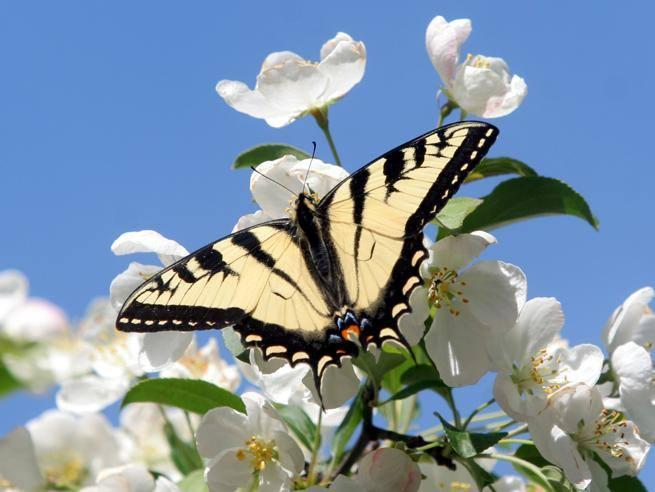 «Salviamo le farfalle»: dal Regno Unito all'Italia, i cittadini chiamati