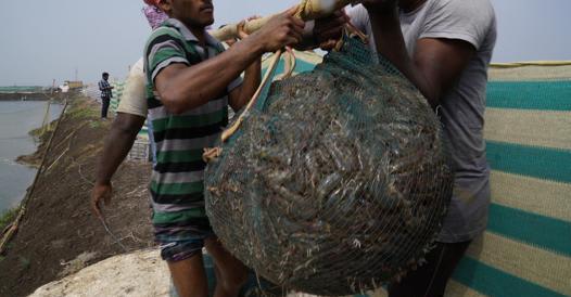 pesce india 526x274