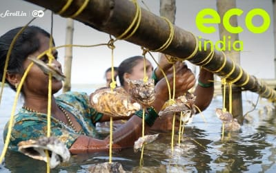 Eco India: How a simple innovation in oyster farming has