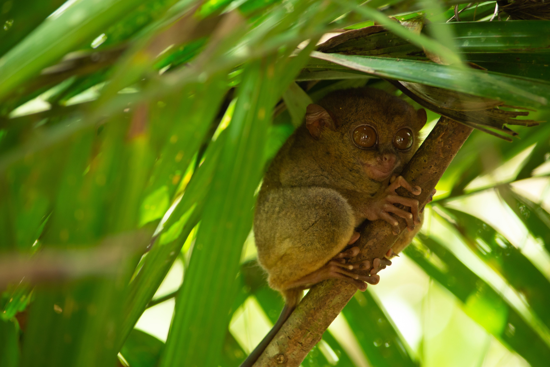 Tarsier primate of Bohol