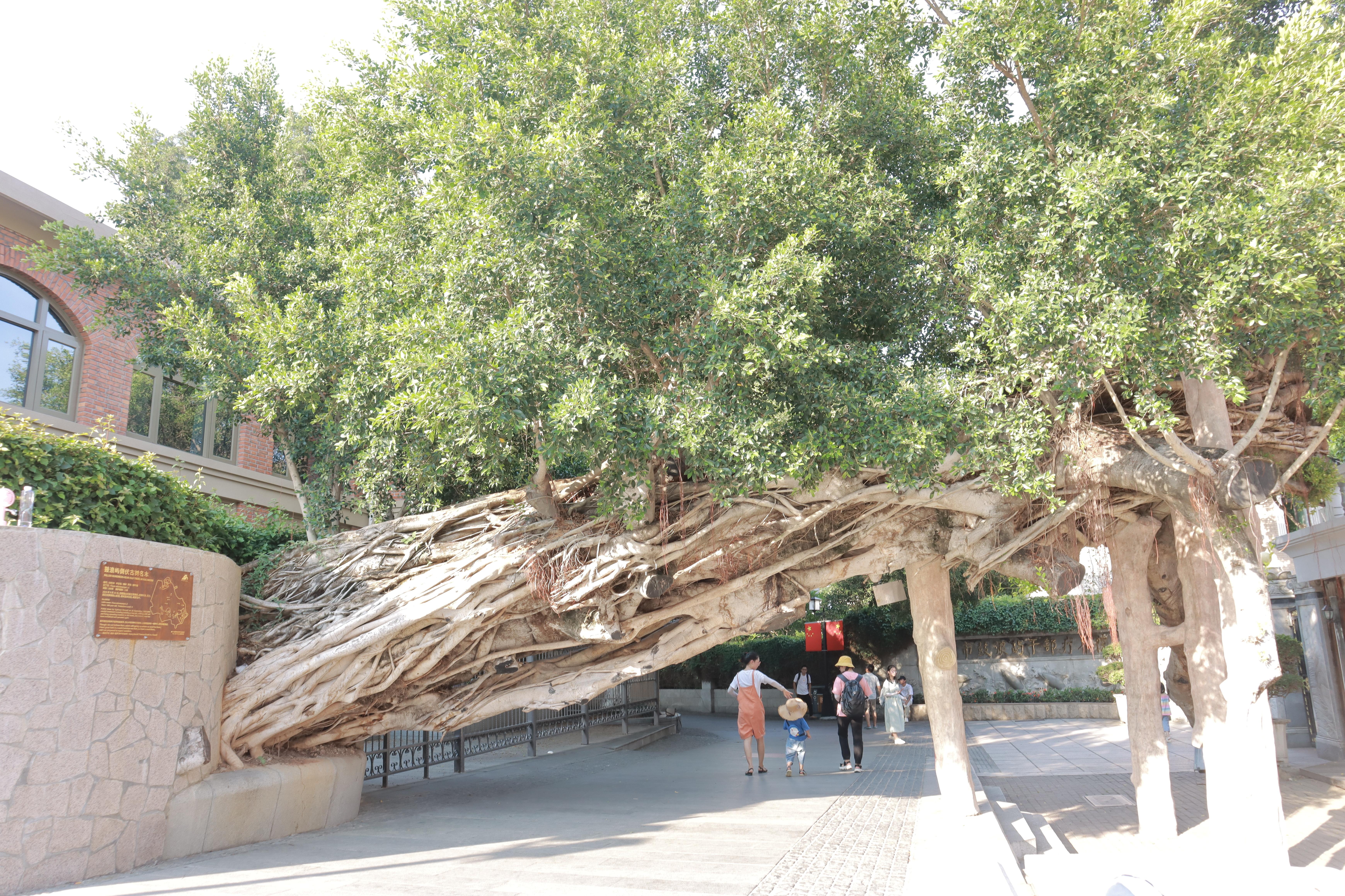 2016 Typhoon in China pulls down 200 year old tree, Captured in Kulangsu, Xiamen