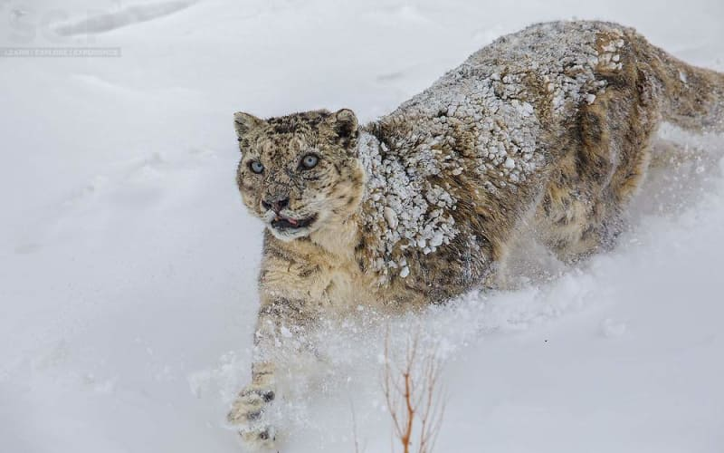 Snow Leopard Expedition to Spiti Valley - Ex Shimla