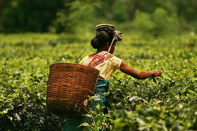 Tea picker in Assam