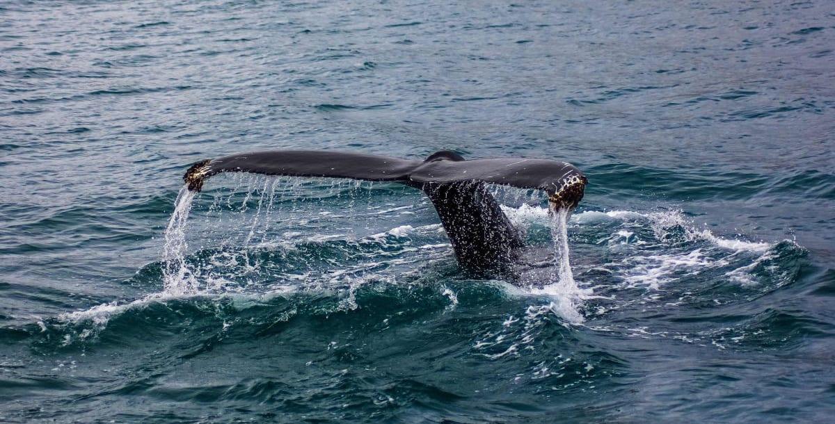 שייט לוויתנים באיסלנד