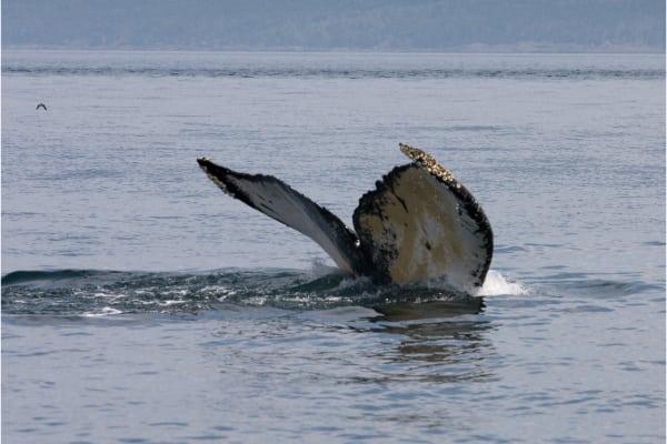 Avistamiento de Ballenas en el Golfo de Chiriquí