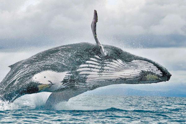 Observación de Ballenas en Pedasí