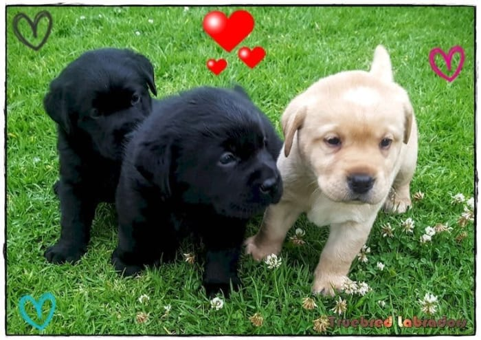 black and yellow labrador puppies Adelaide western australia