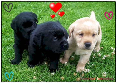 black and yellow labrador puppies perth western australia