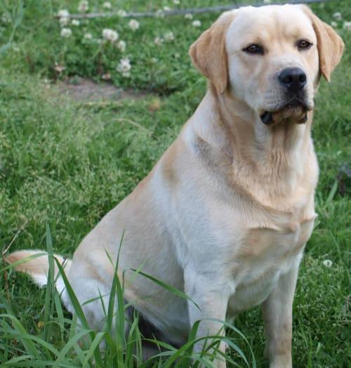 Yellow male Labrador Retriever