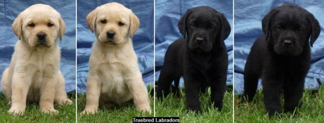 labrador puppies by truebred