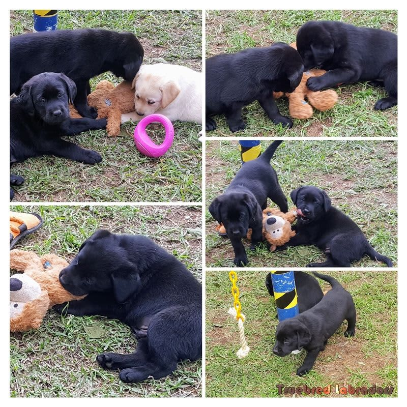 Some of our previous Labrador puppies