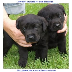 labrador puppies for sale Brisbane