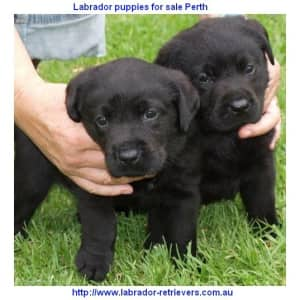 black and yellow labrador puppies for sale perth wa western australia