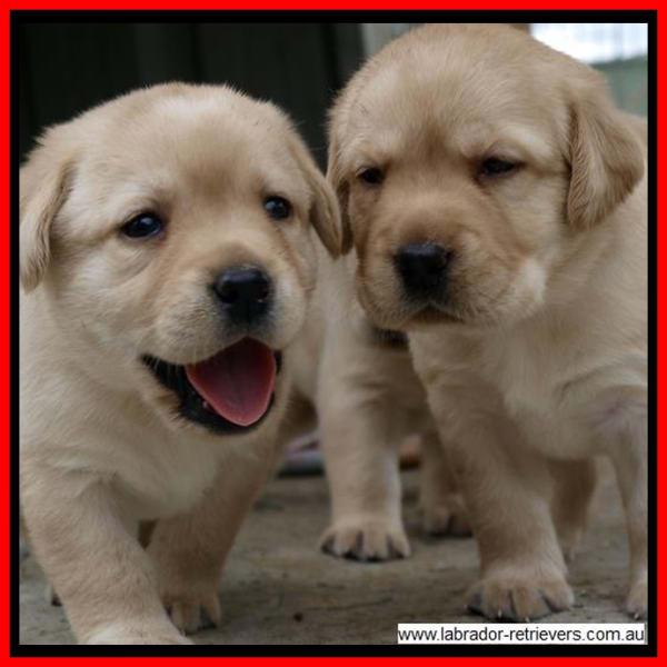 golden yellow labrador puppies