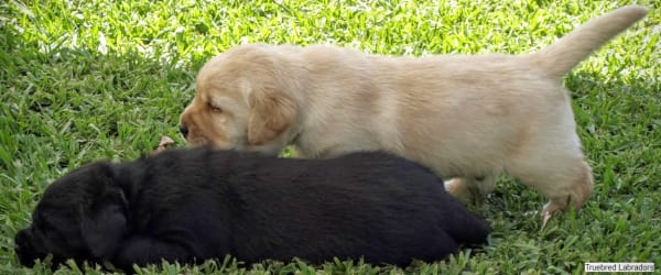 black and golden yellow labrador puppies