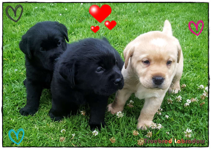 labrador puppies for sale brisbane qld