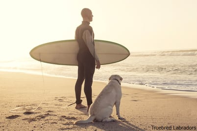 yellow labrador at beach with surfer