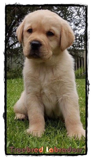 golden yellow labrador puppy