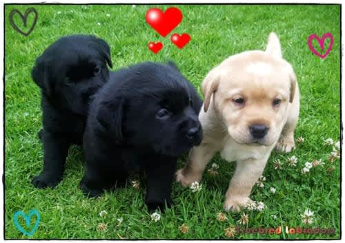 Some of our previous Labrador puppies