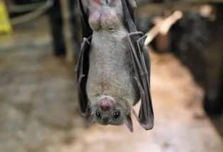 清华大学最新研究:蝙蝠体内发现抗新冠病毒基因,可用来研制抗病毒药物
