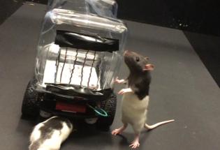 实验室里的老鼠已经学会了开车