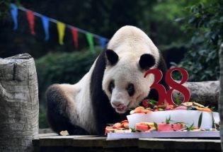 """最长寿大熊猫""""新星""""去世,享年38岁"""
