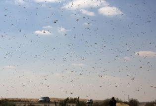 十万只鸭子也帮不了巴基斯坦蝗灾