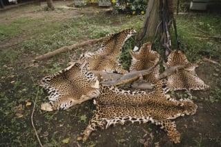 南美美洲豹盗猎增多,中国因素引发关注