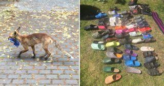 柏林的狐狸偷走了上百只鞋