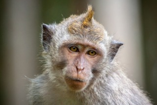 美国COVID-19研究面临猴子供给短缺