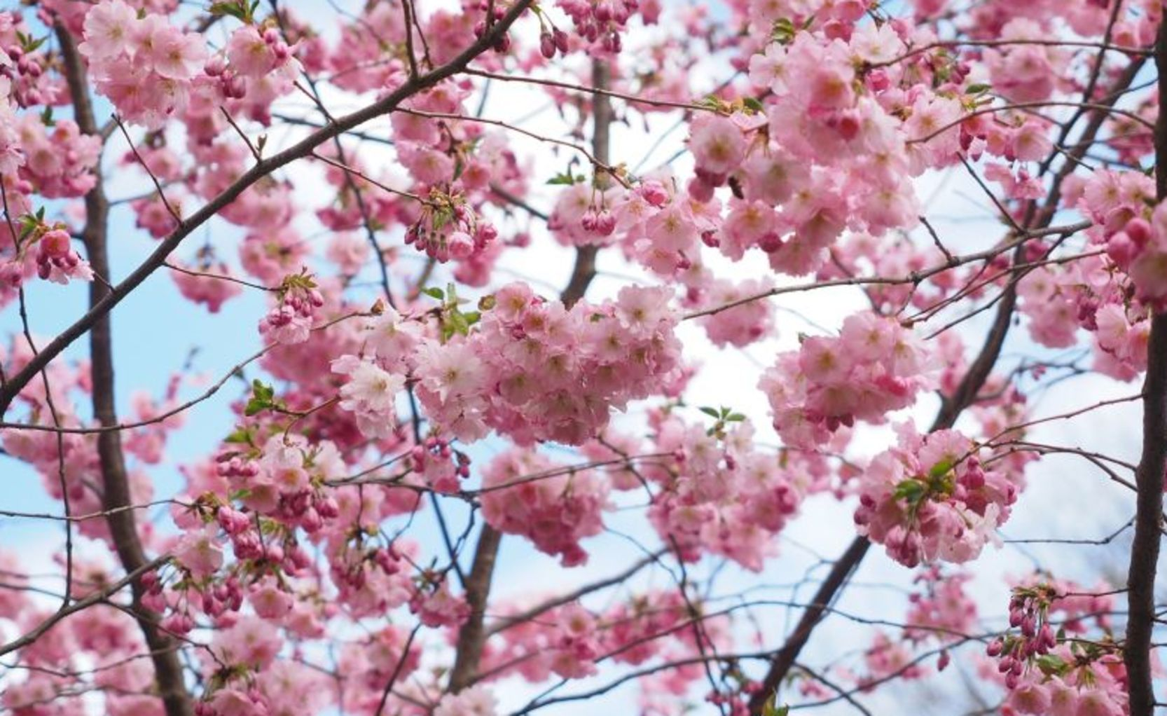 tree of pink bloomed flowers